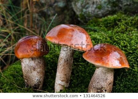 pair of red cap mushrooms grows Stock photo © romvo