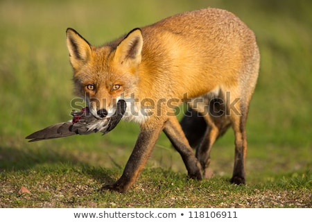 Photo stock: Chiens · chasse · Fox · forêt · cartoon · Homme