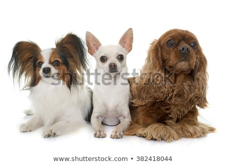cavalier king charles, papillon and chihuahua Stock photo © cynoclub