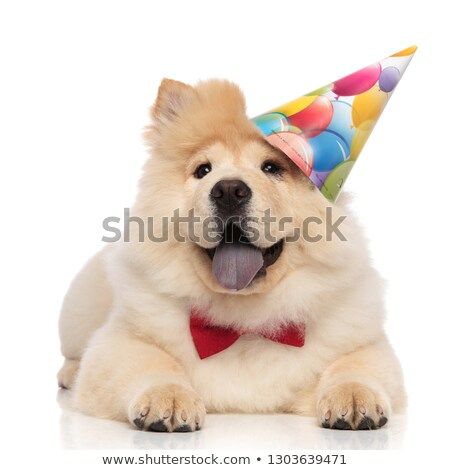gentleman chow chow wearing birthday cap looks up to side Stock photo © feedough