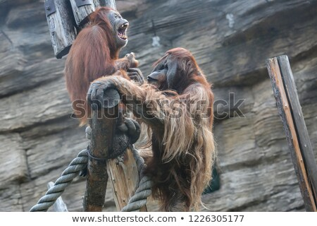 Two orangutans in the opened zoo Stock photo © colematt