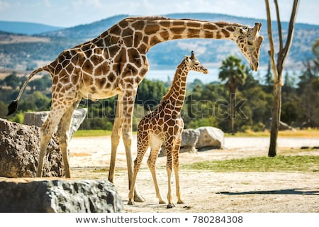giraffe with calf africa wildlife safari stock photo © artush