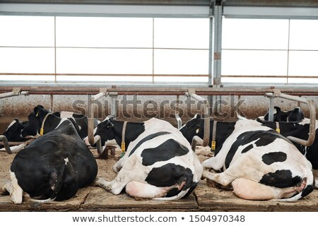 Two rows of restful milk cows lying in cowshed after eating Stock photo © pressmaster