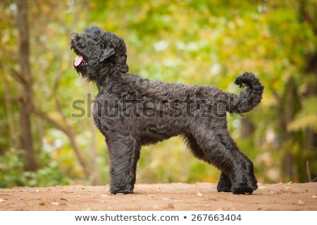 Portrait of an adorable Black Russian Terrier Stock photo © vauvau