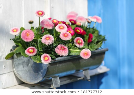 Pot marguerites nature table couleur cadeau Photo stock © val_th