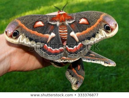 Cecropia Moth Stock photo © AlphaBaby