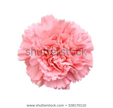 pembe · karanfil · çiçekler · sınır · yalıtılmış · beyaz - stok fotoğraf © sherjaca