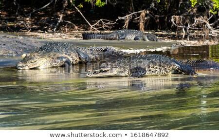 Distanza due coccodrillo natura pelle Foto d'archivio © nuttakit
