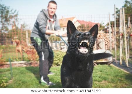 агрессивный · пастух · портрет · улице · собака - Сток-фото © cynoclub