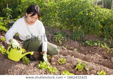 экологический сельского хозяйства помидоров салата плантация небе Сток-фото © photosil