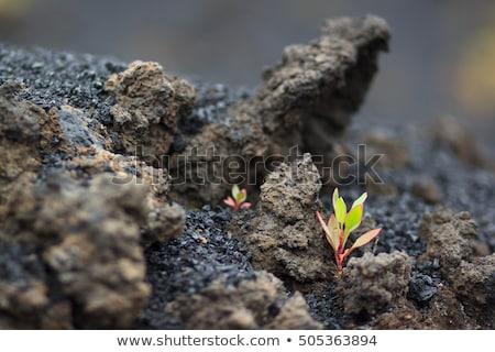 溶岩 岩 工場 美しい 岩 ショット ストックフォト © macropixel