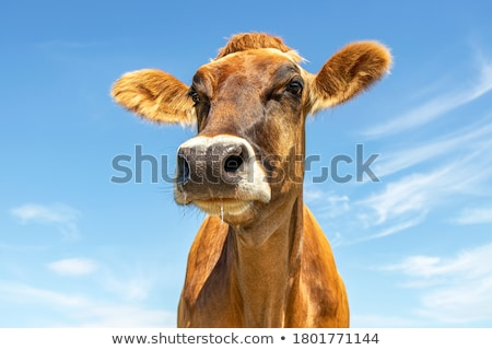 Stock fotó: Kíváncsi · tehén · ormány · állat · mezőgazdaság · zárt