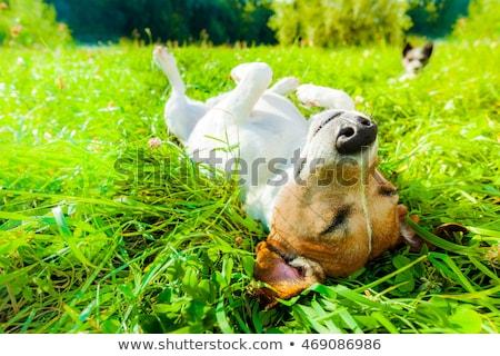 Photo stock: Dog Sunbathing