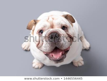 cute · szczeniak · patrząc · psa · piętrze - zdjęcia stock © willeecole