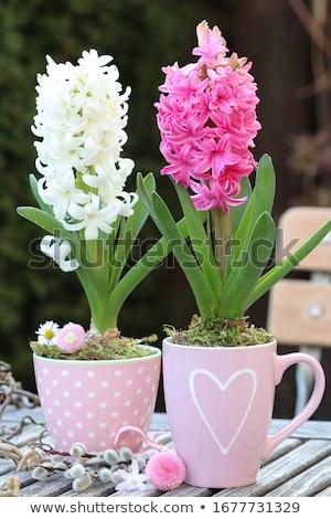 Fehér jácint növény szépség villanykörte kertészkedés Stock fotó © Snapshot