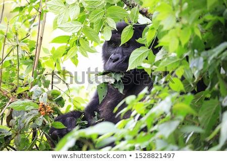 Gorila tierra África cielo cara naturaleza Foto stock © mariephoto