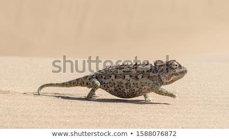 Caméléon désert animaux Bush bizarre étrange Photo stock © dirkr