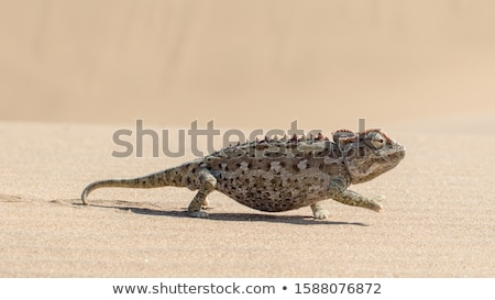 camaleão · deserto · animal · arbusto · estranho · estranho - foto stock © dirkr