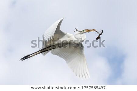 Uçan dal gaga beyaz sığırlar kuş Stok fotoğraf © fouroaks