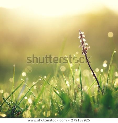 Rain drops on grass leaf at autumn season Stock photo © pashabo