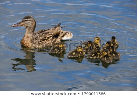 Bruin eendje zwemmen weinig eerste tijd Stockfoto © mady70