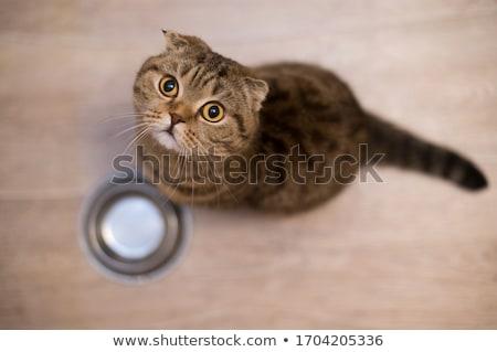 британский · короткие · волосы · кошки · портрет · волос · голову - Сток-фото © nejron