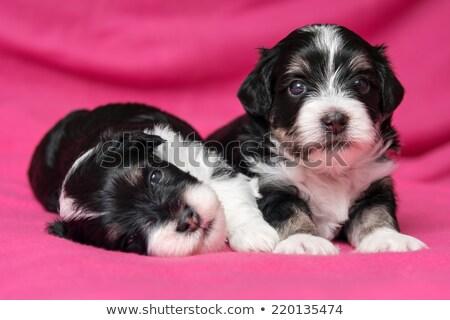 Two Bichon Havanais dogs Stock photo © c-foto