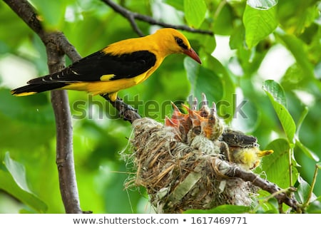 Stock photo: Young oriole