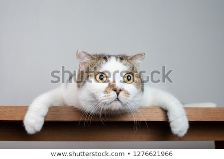 White fluffy cat with widely open eyes Stock photo © mikhail_ulyannik