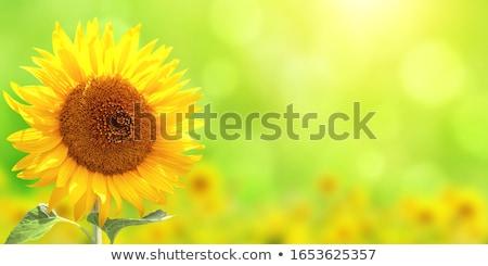 bright yellow sunflowers Stock photo © artfotoss