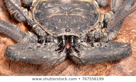 Amblypygi - genus Stock photo © bluering