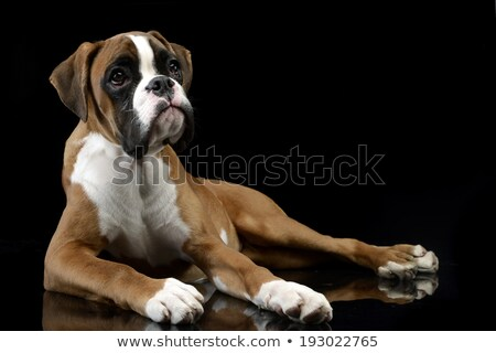 Stock photo: Jung Boxer lying on the shiny floor in dark studio