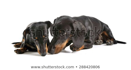 two short hair dachshund smelling in a white studio stock photo © vauvau