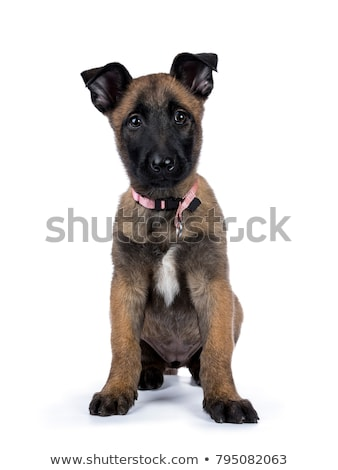 Belgian Malinois relaxing in a white background Stock photo © vauvau
