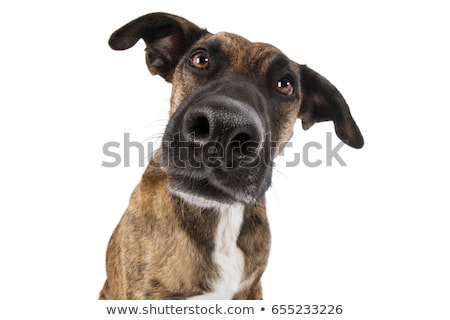 Scared staffordshire bull terrier in a white photo studio Stock photo © vauvau