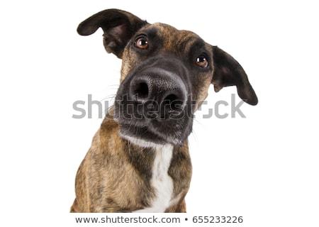 scared staffordshire bull terrier in a white photo studio stock photo © vauvau