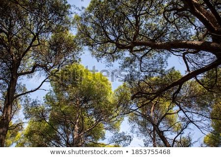 under the tall treetops looking up at sunbeam stock photo © stevanovicigor