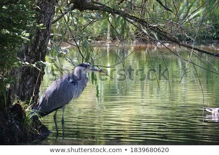 Kócsag sziluett víz természet művészet festmény Stock fotó © perysty