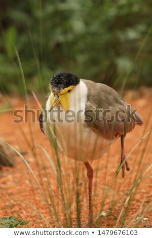 Crowned lapwing standing in the sand. Stock photo © simoneeman