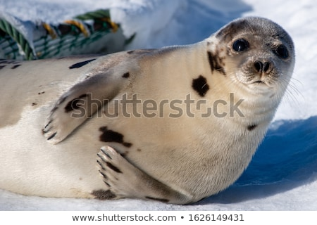 cute seal on white background stock photo © bluering