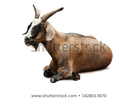 geit · afbeelding · gras · gebouw · kunst · dieren - stockfoto © bluering
