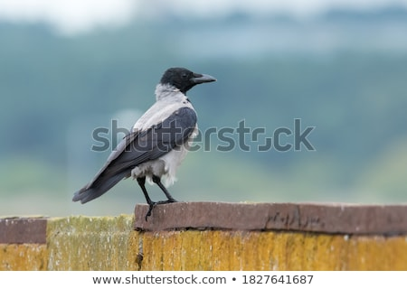 Gray crow outside Stock photo © kaczor58