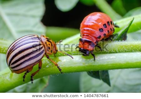 Colorado potato beetle larva close-up Stock photo © digitalr