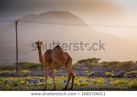 Deve ayakta çöl arazi gün batımı örnek Stok fotoğraf © bluering