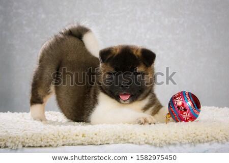 puppy american akita and christmas Stock photo © cynoclub