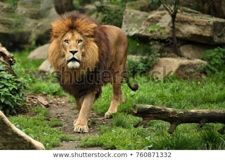 лев · кровь · капли · сидят · саванна - Сток-фото © hedrus