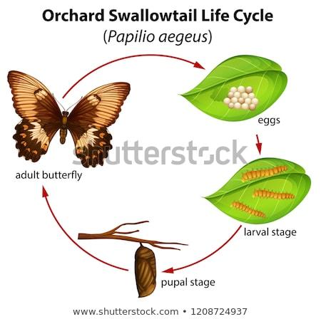 Сток-фото: жизни · цикл · иллюстрация · бабочка · природы