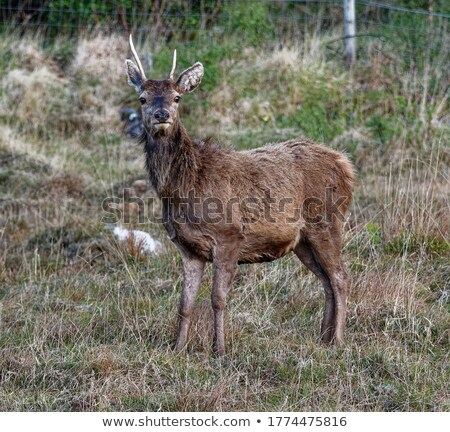 wild red deer stag looking towards the camera Stock photo © taviphoto