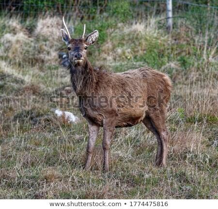 красный оленей глядя камеры красоту Сток-фото © taviphoto