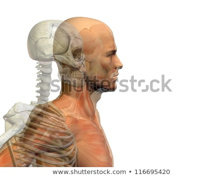 Muscles and bones of the face Stock photo © Tefi